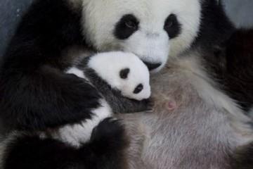 Video: Prvé pandy narodené v Nemecku otvorili oči, dvojčatám sa darí dobre