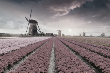 Tulipánové pole v Holandsku.