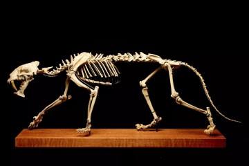 aukcia kostry tigra šabľozubého